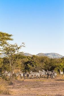 Стада зебр. серенгети, танзанья Premium Фотографии