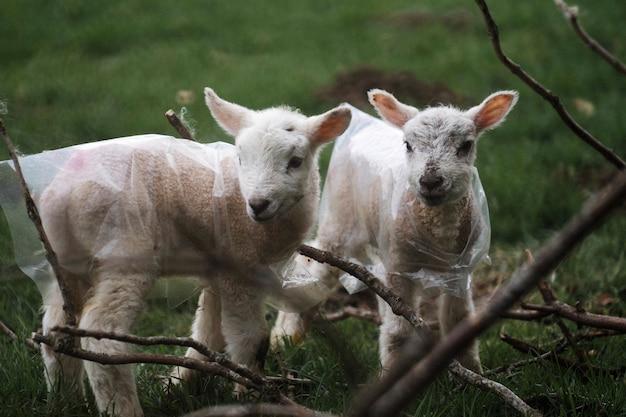 スコットランドの湖水地方のハードウィック子羊