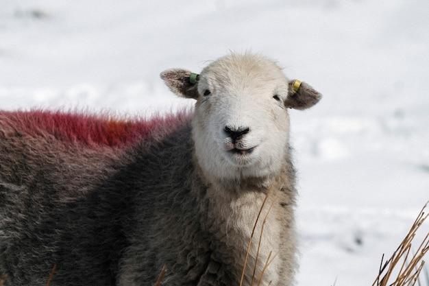 Овцы хердвик в заснеженном озерном крае в шотландии