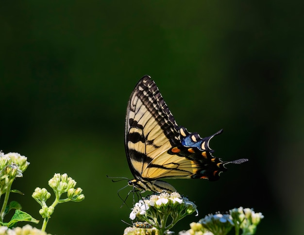 Here we see an eastern tiger swallowtail butterfly and unknown but colorful guest are seen