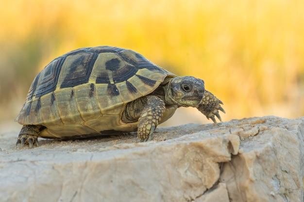 Hermann's tortoise (testudo hermanni boetgeri) walking on a path