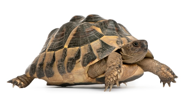 Hermann's tortoise testudo hermanni walking in front of white background