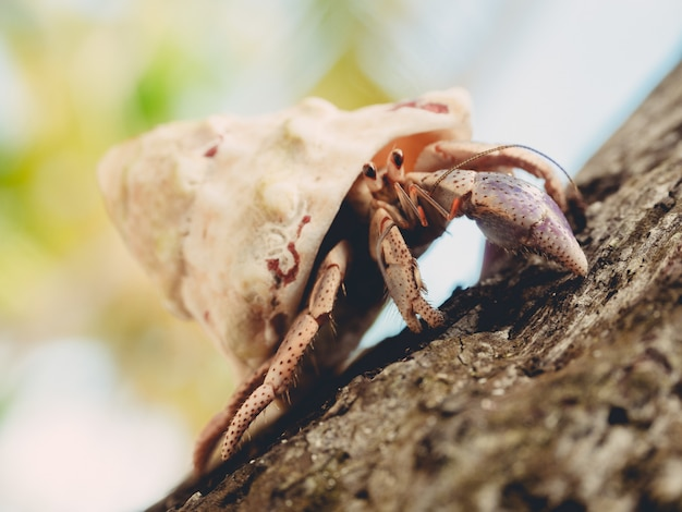 Hermit crab crawling on a wood under sunlight with a blurry background