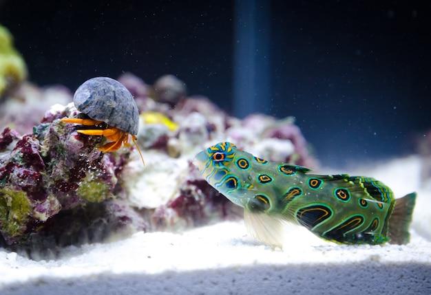 Hermit crab vs synchiropus splendidus