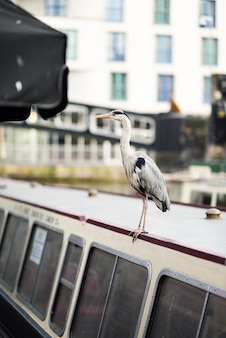 Heron or ardea cinerea in little venice, camden town, london, uk