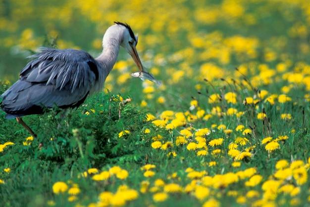 Heron catching fish, holland,