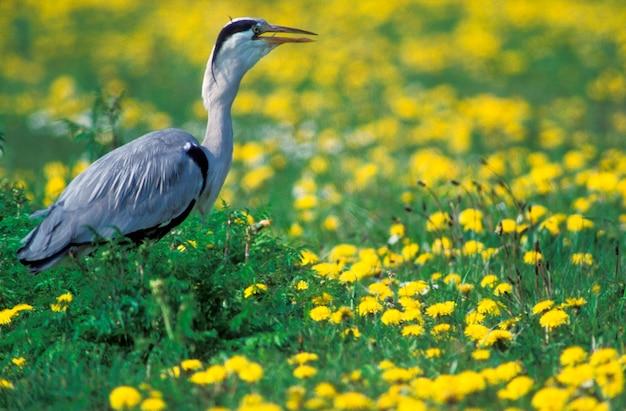 Heron in field of flowers, holland,