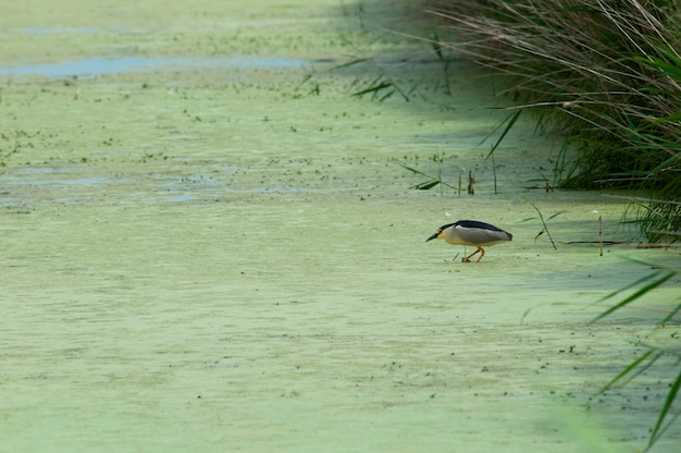 A heron hunting in the algae
