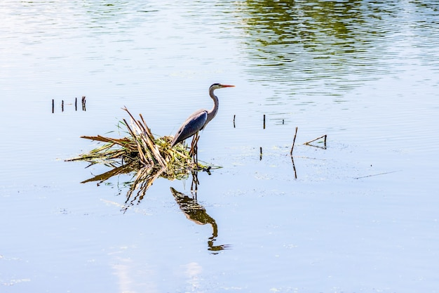 Цапля на реке. отражение цапли в воде_