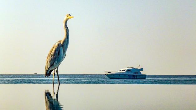 モルディブのプールに座っているヘロン。
