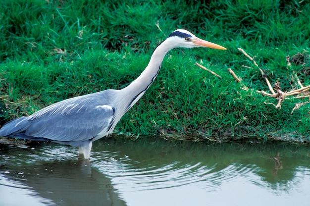 Heron walking in water, holland