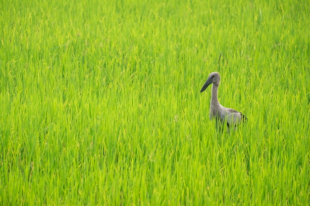 Herons find food in the middle of rice fields.