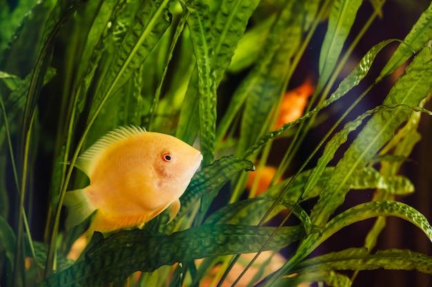 Heros severus floats in a home aquarium among algae