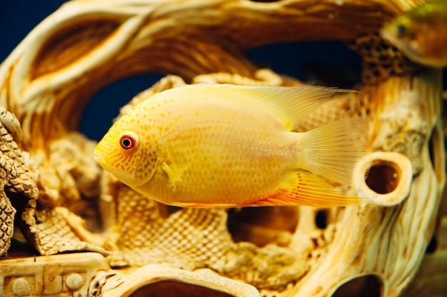 Герос северус проплывает мимо декоративного промысла в аквариуме