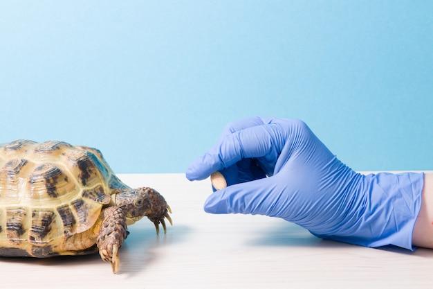 Herpetologist 수의사는 육지 거북에게 알약 또는 비타민을 제공하고 거북이 치료를 위해 알약이 달린 고무 장갑, 파란색 표면, 복사 장소를 제공합니다.