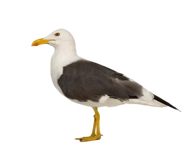 Herring gull - larus argentatus on a white isolated