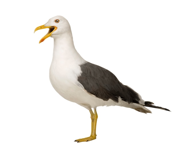 Herring gull - larus argentatus on a white isolated