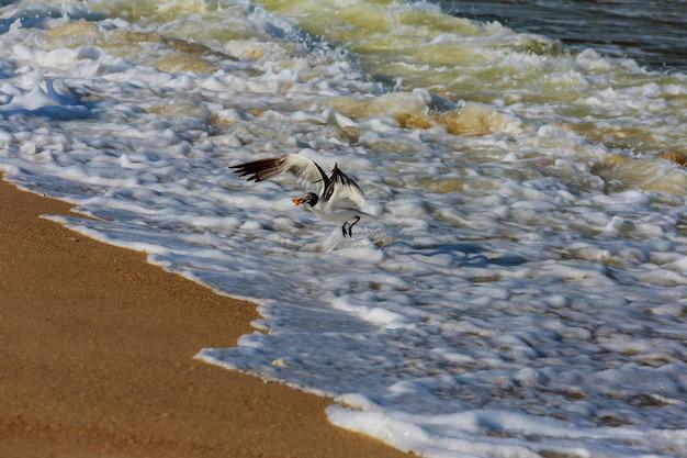 Herring gull larus smithsonianus catching a herring during the spring herring run