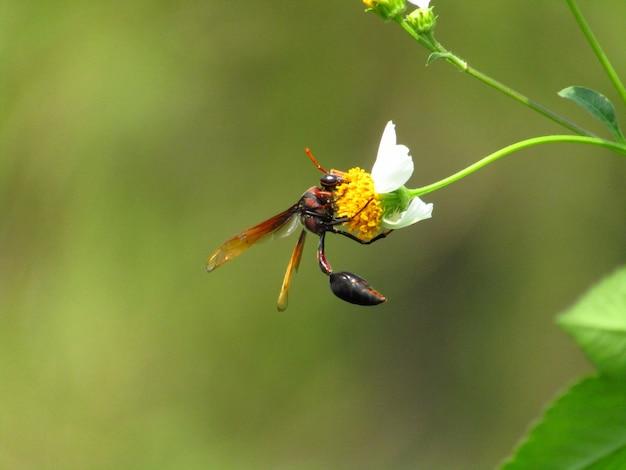 Макрофотография фото пчелы heterogyna на белый цветок с желтым пестиком