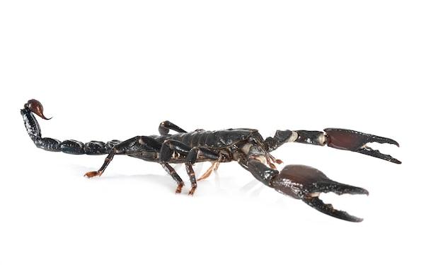 Heterometrus spinifer