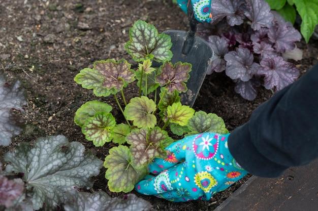 Heuchera와 정원에서 그들을 돌보는 봄 정원 식물 이식에서 작업