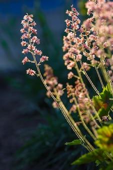 Heuchera flowers pink on a flowerbed in the summer garden