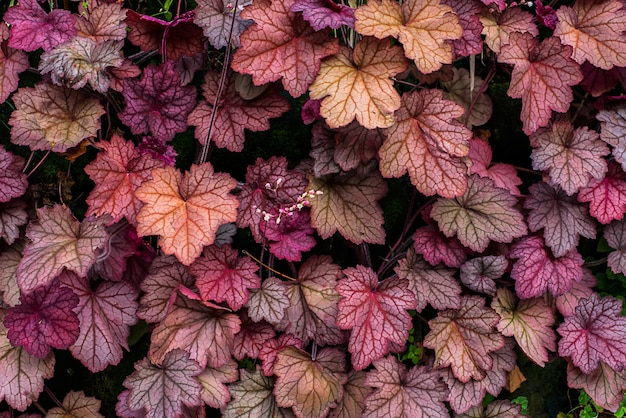 Heuchera。サヤフラゲ科。閉じる。マクロ。彫刻された明るい葉の胡蝶葉の庭。