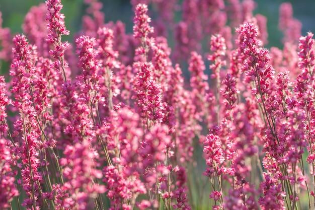 咲く紫色のheuchera