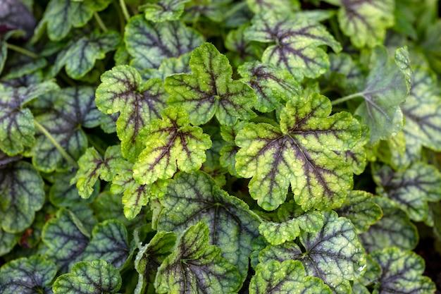 정원에 아름다운 질감 잎이있는 heucherella 원예 조경 다년생 정원 식물