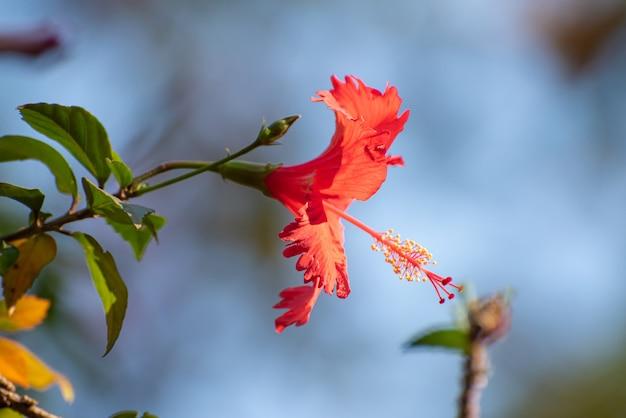 히비스커스는 자연의 색상과 모든 세부 사항을 지니고 있습니다. 자연광, 선택적 초점.