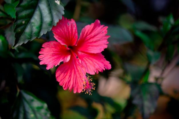 春に満開のハイビスカスの花