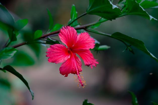 靴の花として知られているアオイ科アオイ科hibiscusrosasinensisのハイビスカスの花