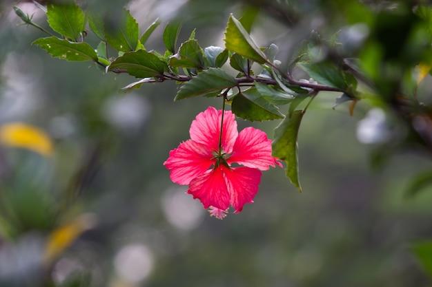 アオイ科のハイビスカスの花アオイ科hibiscusrosasinensis既知の靴の花