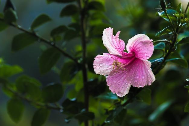 Цветок гибискуса в семействе мальвовых malvaceae hibiscus rosasinensis, известный цветок обуви