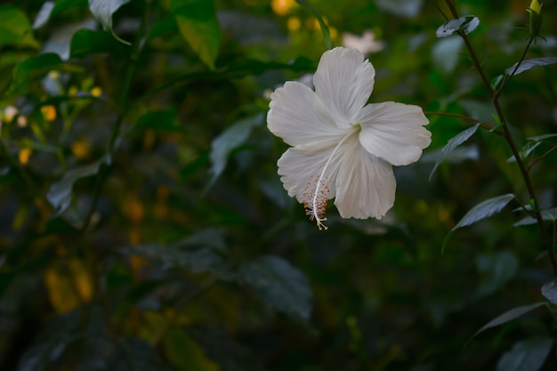 Hibiscus flower in the mallow family malvaceae hibiscus rosasinensis known as the shoe flower
