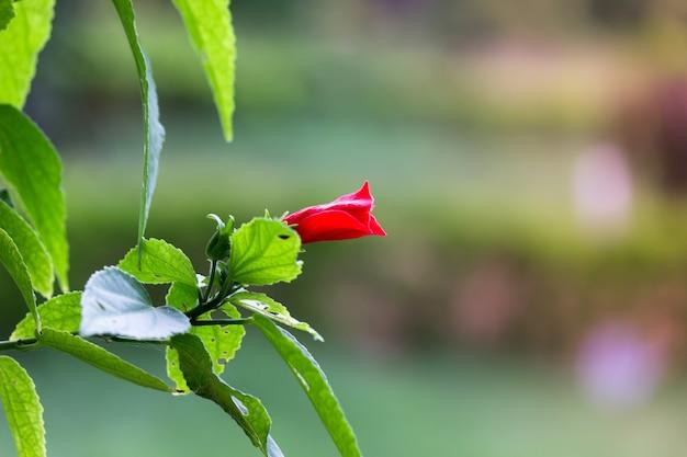 ハイビスカスの花またはアオイ科またはrosasinensis既知の靴の花が春に満開になります