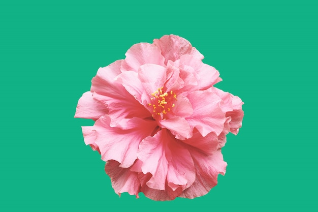 Hibiscus flower with minimal green background.
