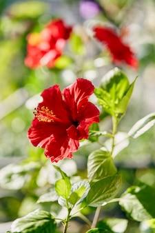 枝に咲くハイビスカスの花。カラフルな夏の背景。高品質の写真