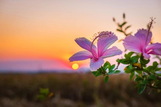 夕方のハイビスカスの花