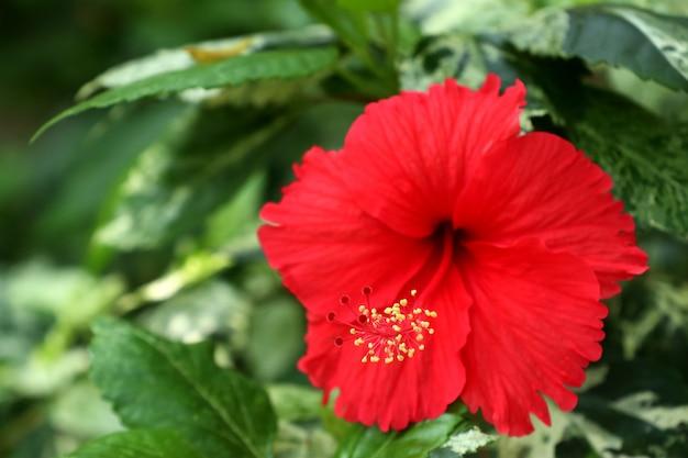 Цветы гибискуса в тропическом