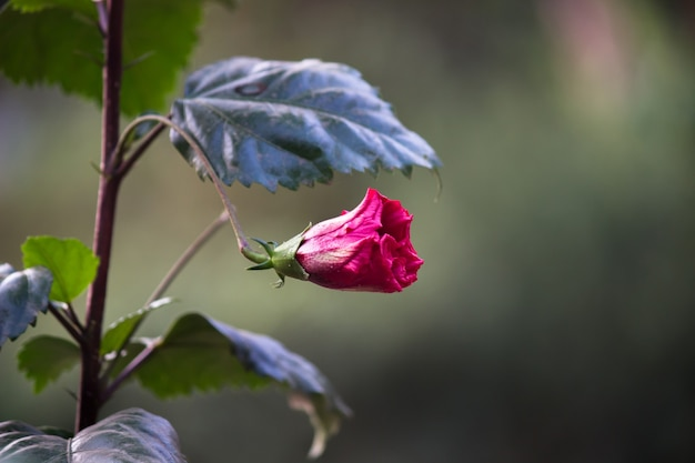 春に咲くハイビスカス属ハイビスカス