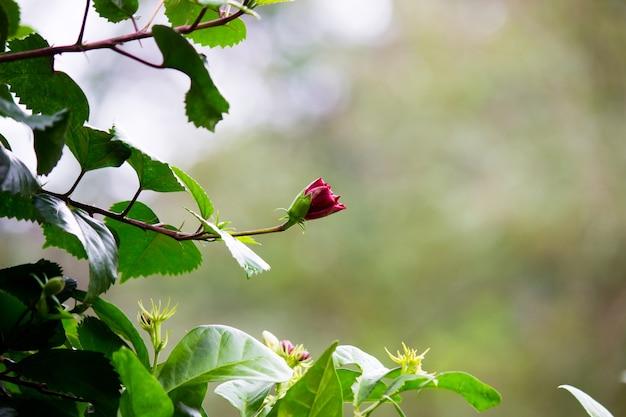 インドの公園で春に咲くハイビスカス属ハイビスカス