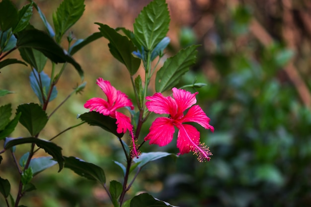 ハイビスカスはアオイ科アオイ科の顕花植物の属です