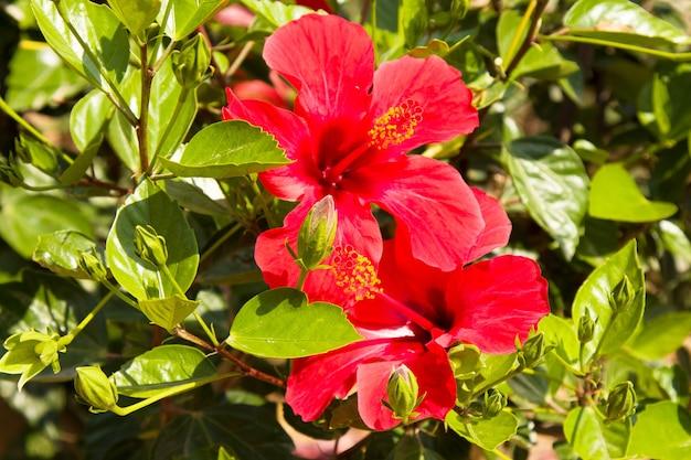 トルコ、アラニヤの熱帯庭園のハイビスカスレッドフラワー(チャイニーズローズ、チャイニーズハイビスカス、ハワイアンハイビスカス)