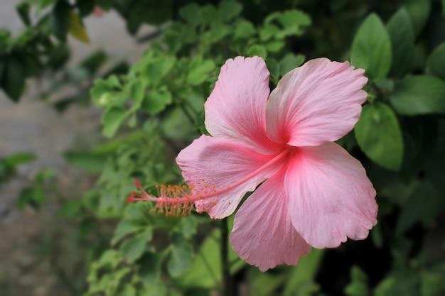 ハイビスカスローザ-庭のシネンシスライトピンク。