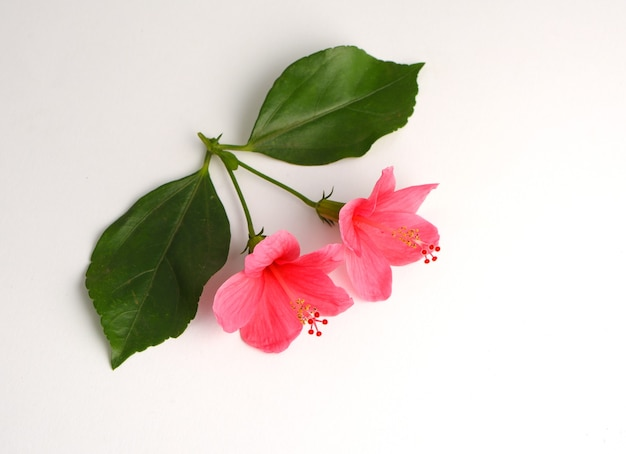 히비스커스 장미 핑크 꽃 흰색 배경에 고립