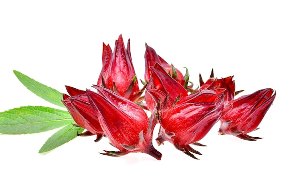 Плоды гибискуса sabdariffa или roselle на белом фоне