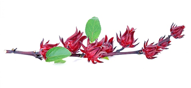 Hibiscus sabdariffa or roselle fruits isolated on white background.