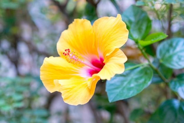 花粉のハイビスカス黄色の花