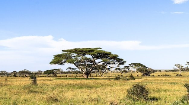 Высокая акация в центре серенгети. танзания, африка